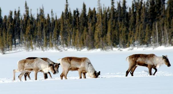 Boreal Caribou in the winter. Photo Credit: John Nagy, GNWT