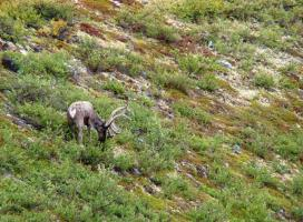 Bathurst caribou. Photo:  GNWT / J.Obst, ENR