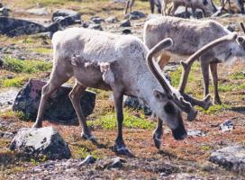 Barren-ground caribou_GNWT / Rob Gau