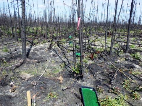 Seed traps for measuring seed input at fire site  (Photo:  Xanthe Walker, University of Saskatchewan)