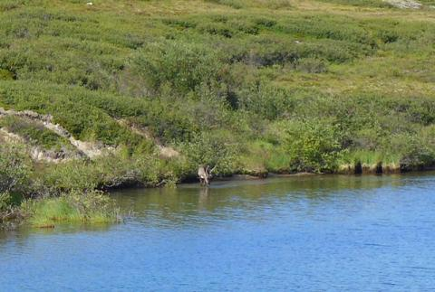 Caribou drinking at water's edge at Daring Lake.  Photo:  Jody Pellissey, WRRB