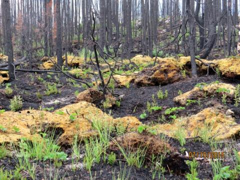 Regrowth after 2014 forest fire (Photo: Camilla Nitsiza)