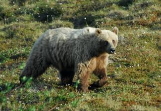 Grizzly bear (Photo: GNWT / D.Downing, ENR)