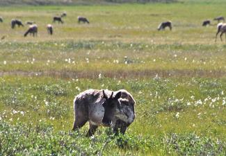 Bluenose-East Caribou in cotton grass (Photo:  GNWT / Boyan Tracz)