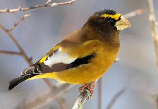 Adult male Evening Grosbeak sporting its brilliant yellow markings (Photo: Mdf / Wikimedia Commons :  CC BY 2.0)