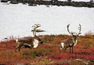 Barren-ground caribou  (Photo:  Catherine Graydon)