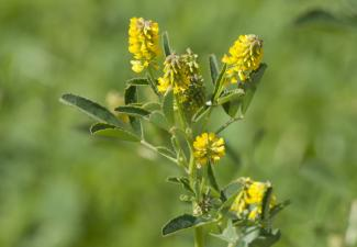 Sweet clover can take over naturally disturbed habitats.  Pictured is yellow sweet clover.  The closely related white sweet clover is found in many places in the NWT.  Photo:  Zeynel Cebeci / Wikimedia Commons:  CC BY-SA 4.0