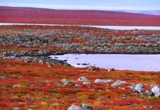 Bathurst caribou on summer range on the Barrenlands (Photo:  Catherine Graydon)