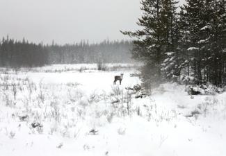 Tǫdzı (boreal caribou)  Photo:  GNWT / A.Kelly, ENR