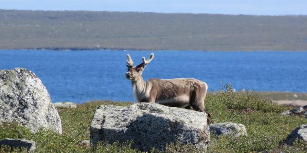 Bathurst Caribou (Photo:  Catherine Graydon)