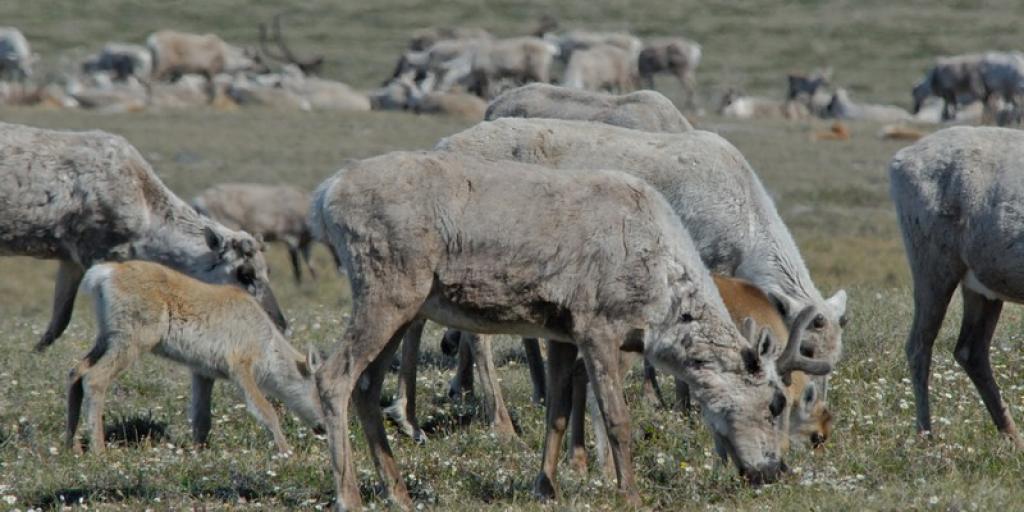 Bluenose-East caribou (GNWT / B.Tracz, ENR)