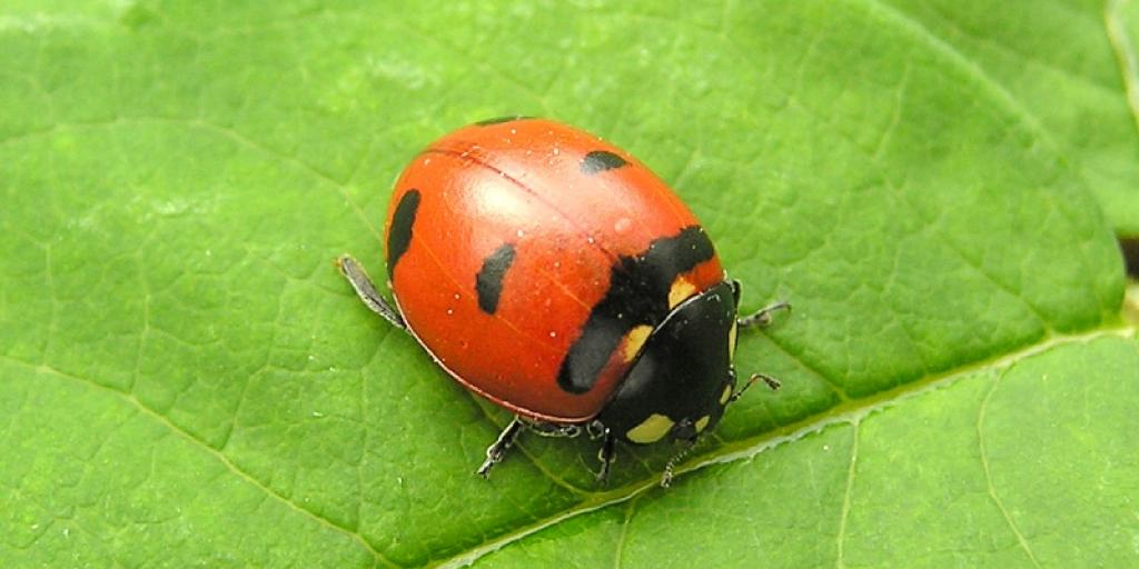 Transverse Lady Beetle  (Photo:  Henri Goulet)