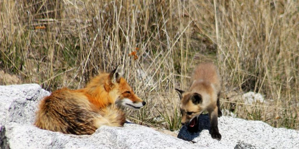 Red fox parent and kit (Photo: GNWT / S.Yuill, ENR)