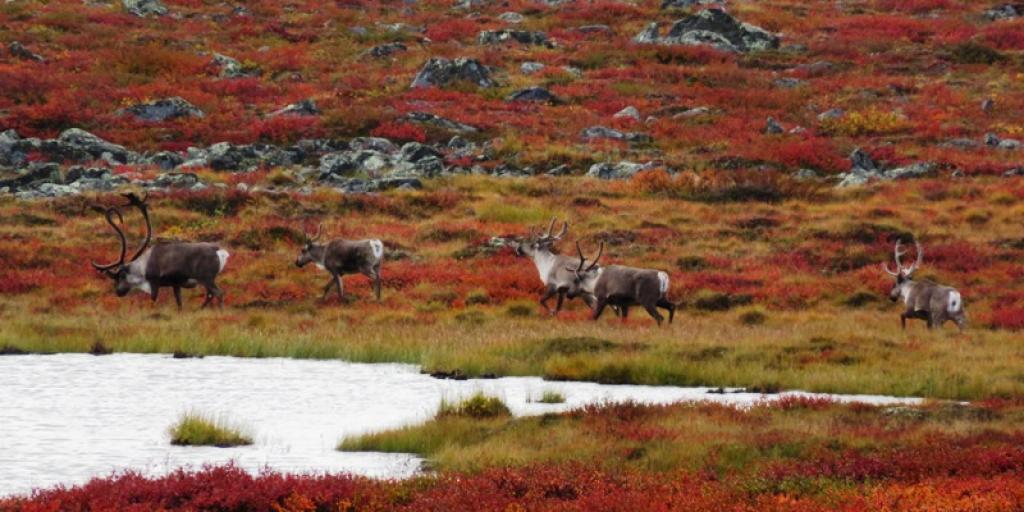 Bathurst caribou on summer range (Photo:  Catherine Graydon)