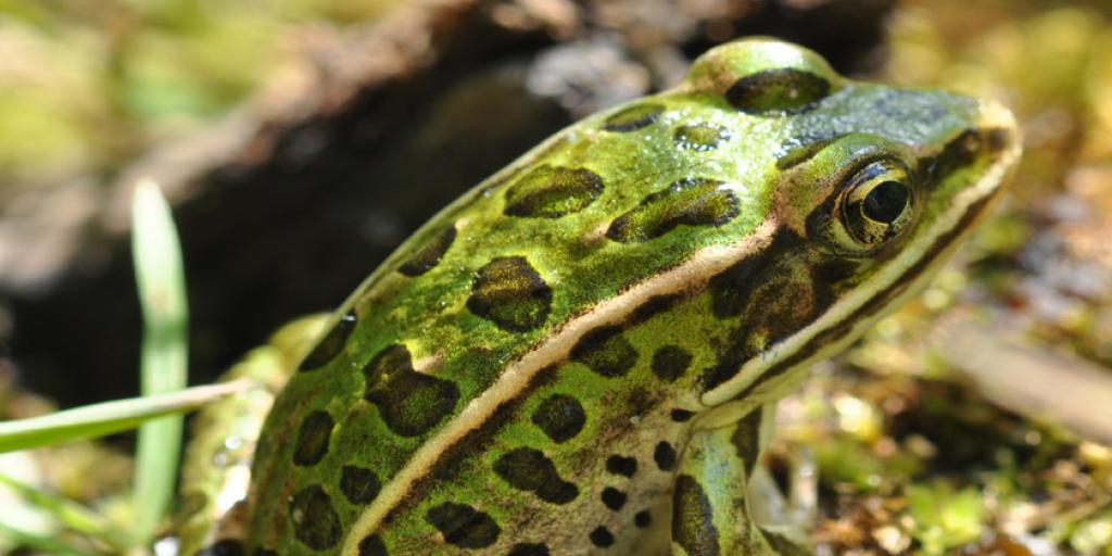 Northern Leopard Frog, a Threatened species under the Species at Risk (NWT) Act. (Photo:  Douglas Wilhelm Harder / Wikimedia Commons CC BY-SA-3.0)