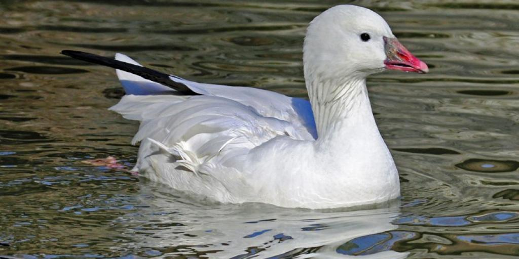 Ross's goose swimming (Photo:  Dick Daniels / Wikimedia Commons (CC BY-SA 3.0)
