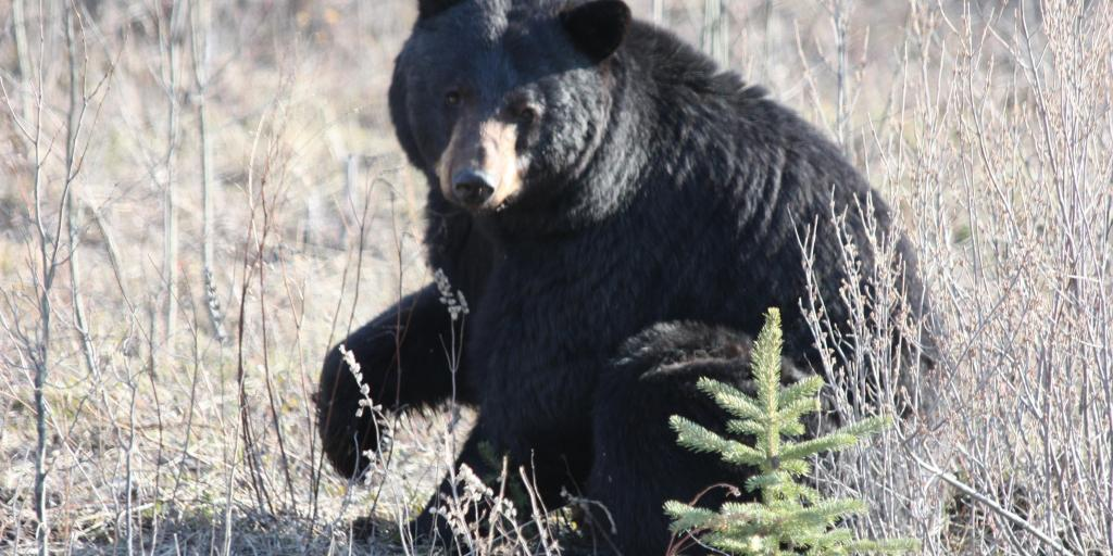 Black bear (Photo: GNWT / K.Cox, ENR)
