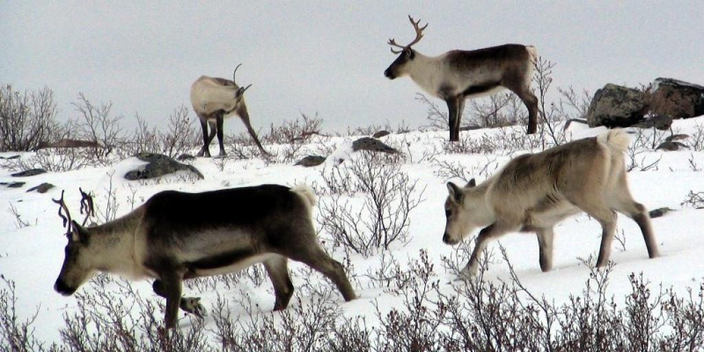 Bathurst caribou calf following cow (Photo:  GNWT / A.Gunn)