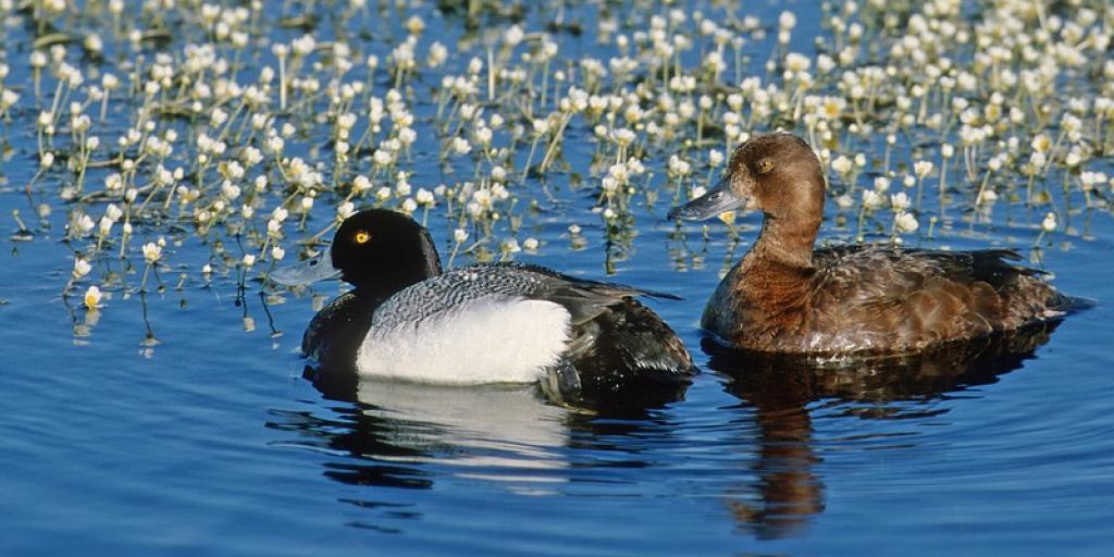 "Lesser Scaup Pair.  Traditionally, lesser scaup (also known as ""blue bills"") have been one of the most abundant ducks in North America; however, their populations have been spiralling downwards in recent years. (Photo Courtesy of ©Ducks Unlimited Canada / Brian Wolitski))"