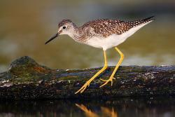 Lesser Yellowlegs. Wikimedia Commons. https://commons.wikimedia.org/w/index.php?title=File:Lesser_Yellowlegs.jpg&oldid=146502313.