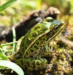 Northern Leopard Frog. Photo:  Douglas Wilhelm Harder / Wikipedia Commons (CC BY-SA 3.0)