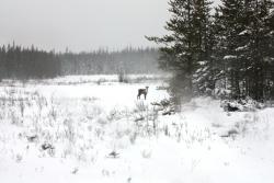 Tǫdzı (boreal caribou)  Photo:  GNWT / A.Kelly, ENR